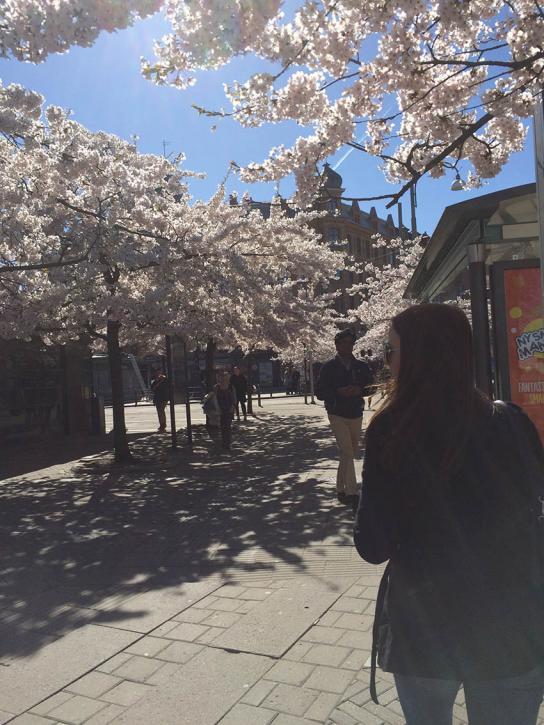 Vacker körsbärsblom vid Järntorget.